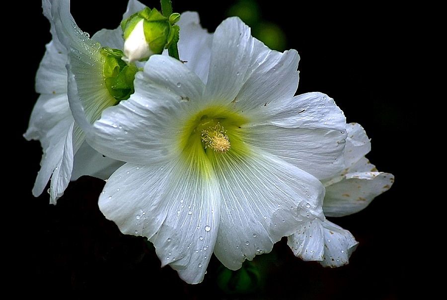 """photo """"""""Hollyhock"""""""" tags: nature, flowers"""