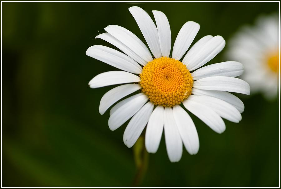 "фото ""Раз, ромашка..."" метки: природа, цветы"