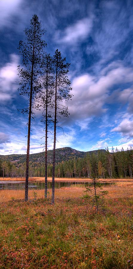 """фото """"Pine...."""" метки: пейзаж, лес, осень"""