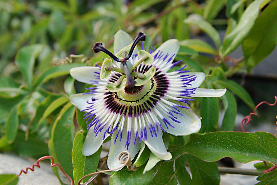 """фото """"Passiflora"""" метки: макро и крупный план, природа, цветы"""