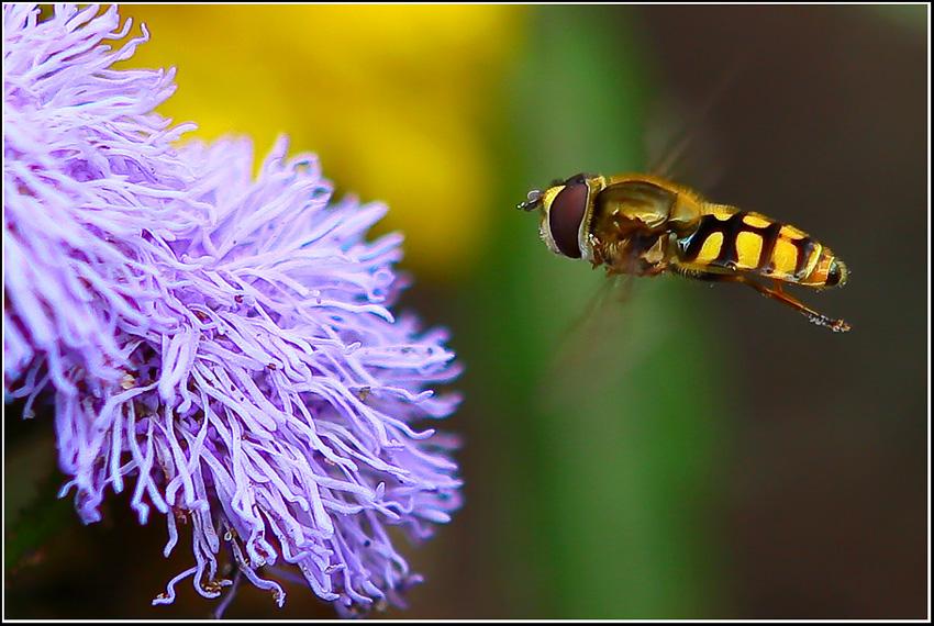 "фото ""BZZZzzz..."" метки: природа, макро и крупный план, насекомое"