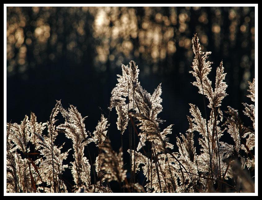 "фото ""Silver Bouquette"" метки: природа, цветы"