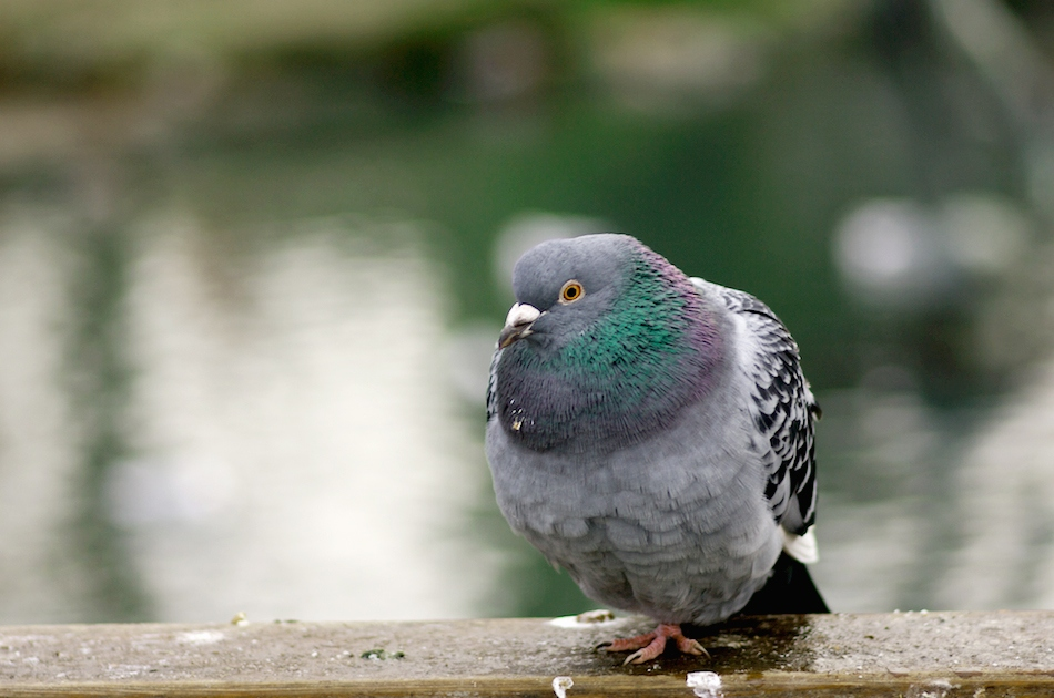 "photo ""Winter pigeon..."" tags: nature, wild animals"