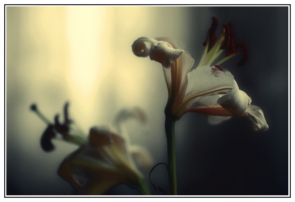 "photo ""Лилии"" tags: macro and close-up, still life,"