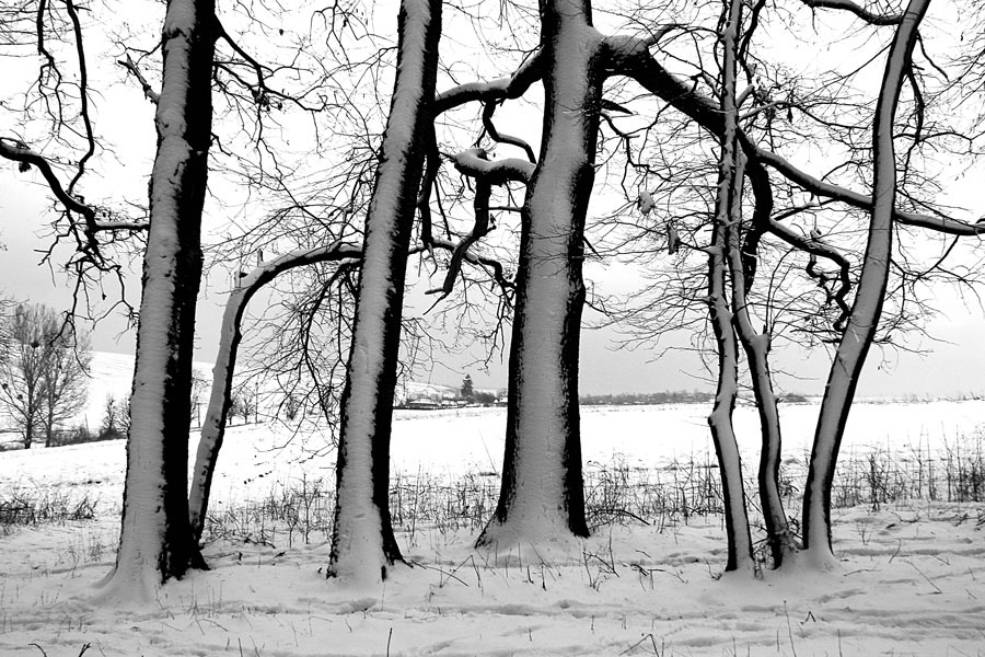 "photo ""Trees in Winter /"" tags: landscape, black&white, nature, forest, trees, winter"