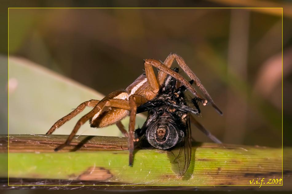 """фото """"На лопатки!"""" метки: макро и крупный план, природа, насекомое"""