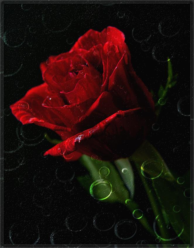 """фото """"Роза в шампанском или страсть в пузырьках"""" метки: абстракция, природа, цветы"""
