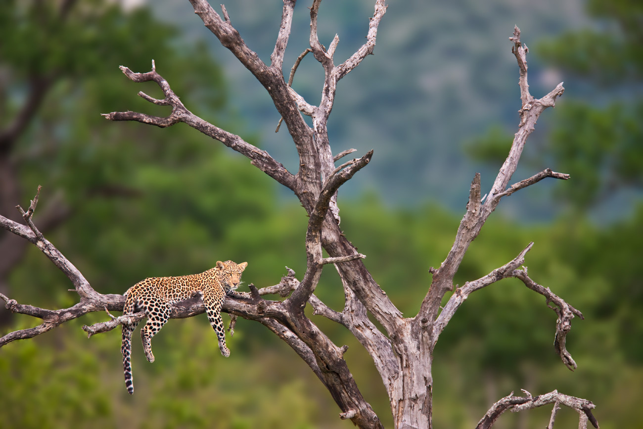 "photo ""Leopard"" tags: nature, travel, Africa, wild animals"