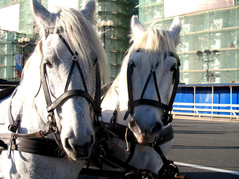 """фото """"Лошади на Дворцовой площади"""" метки: ,"""