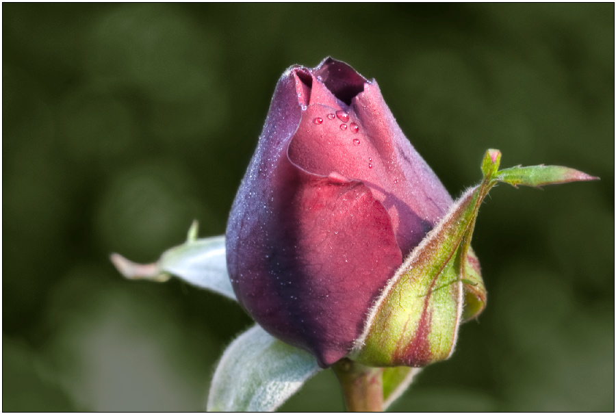 "photo ""Just a Rose"" tags: macro and close-up, nature, flowers"