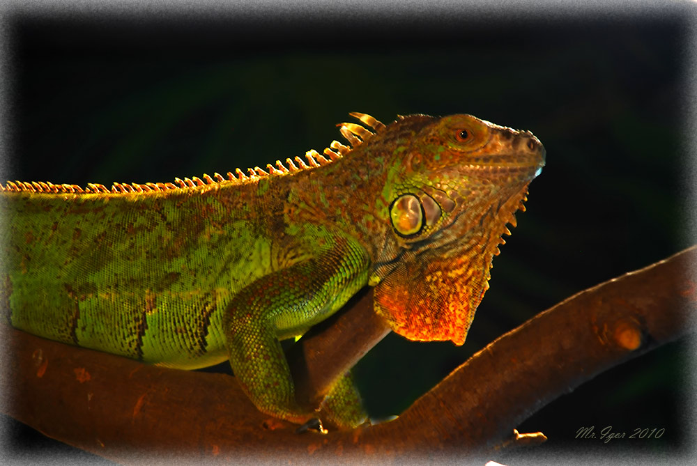"photo ""Iguana"" tags: nature, wild animals"