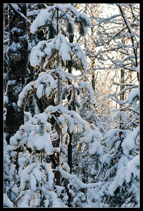"""фото """"Зимний свет"""" метки: пейзаж, лес"""