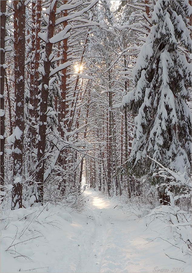 "photo ""A pine forest. January"" tags: landscape,"