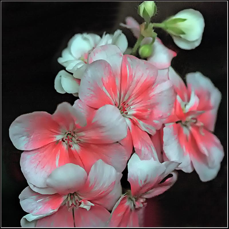 "photo ""Varvarushki (Geranium)"" tags: nature, macro and close-up, flowers"