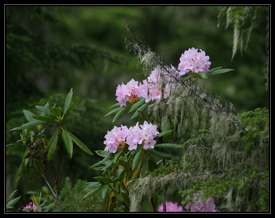 "photo ""Rainforest. Wild rhododendron. Summer."" tags: landscape, nature, flowers, forest"