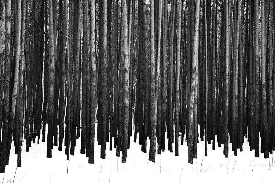 """фото """"Сосновый бор"""" метки: пейзаж, черно-белые, зима"""