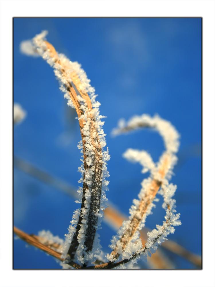 """фото """"Перья снежных петухов"""" метки: природа, макро и крупный план, цветы"""