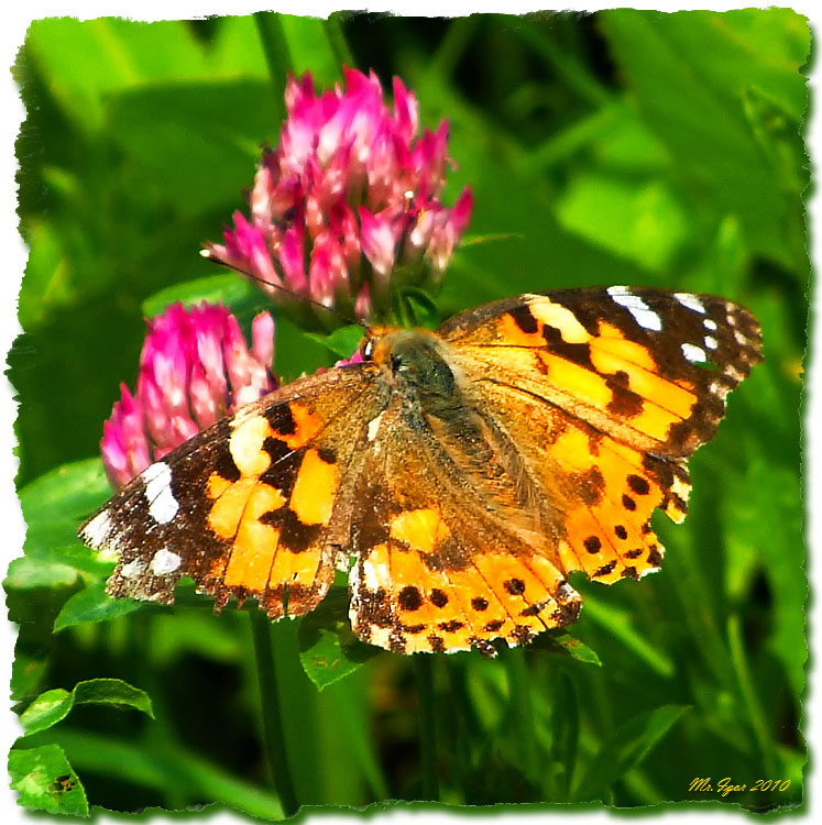 "photo ""Butterfly"" tags: nature, flowers, insect"