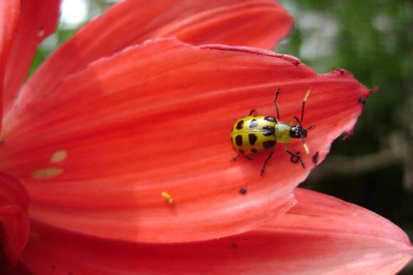 """фото """"Lady Bug"""" метки: природа, насекомое, цветы"""