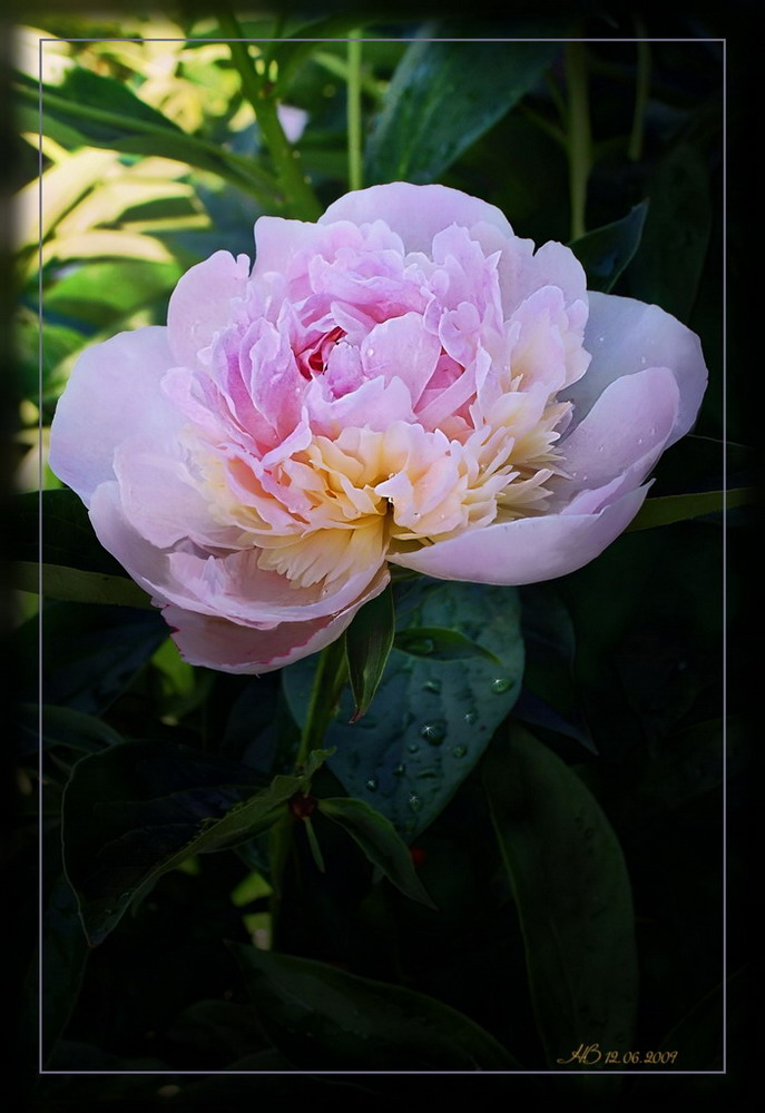 "photo ""Rose peoni"" tags: nature, flowers"