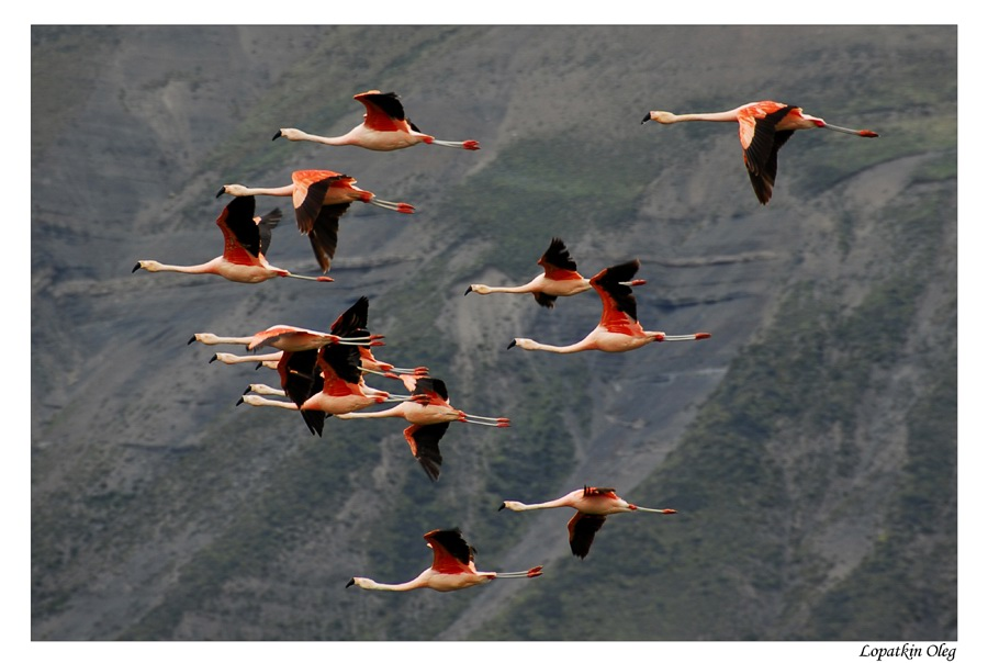 "photo ""Flamingo"" tags: nature, travel, South America, wild animals"