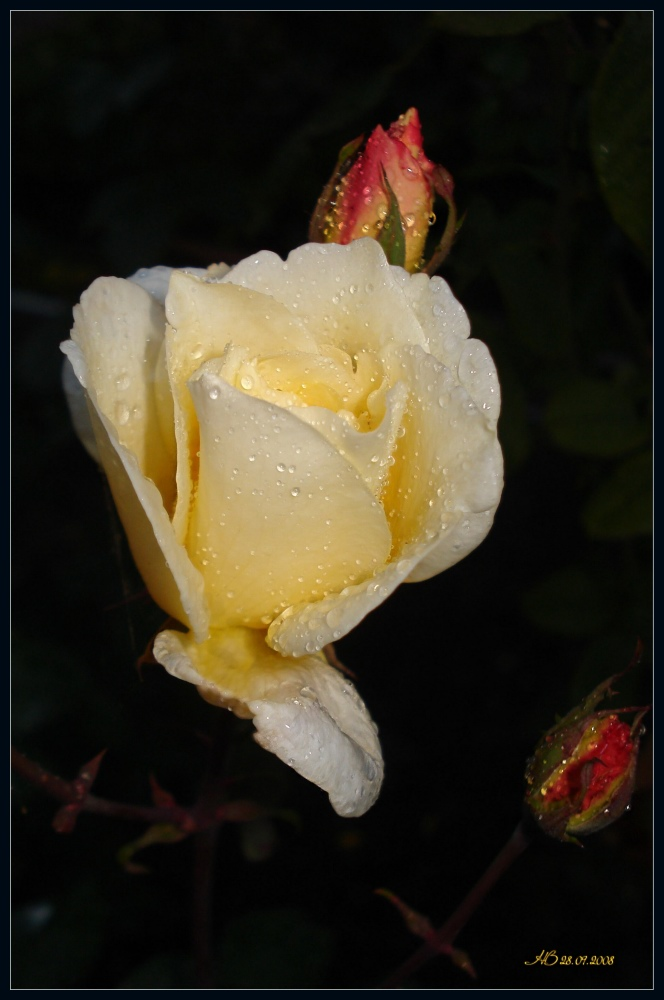 """photo """"Yellow Rose"""" tags: macro and close-up, nature, flowers"""