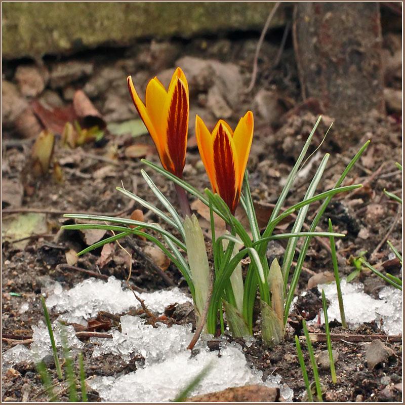 """фото """"Подарок Февраля (крокусы)"""" метки: природа, цветы"""