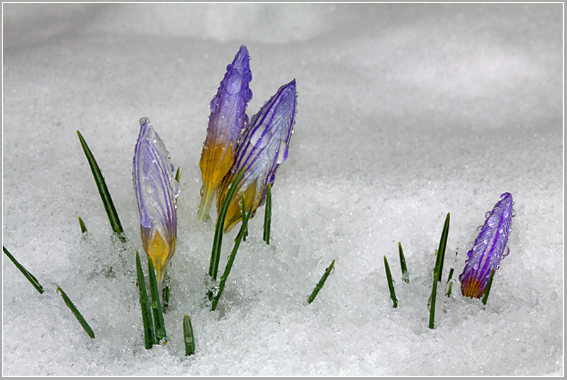 """фото """"Идущие к Весне.."""" метки: природа, макро и крупный план, цветы"""