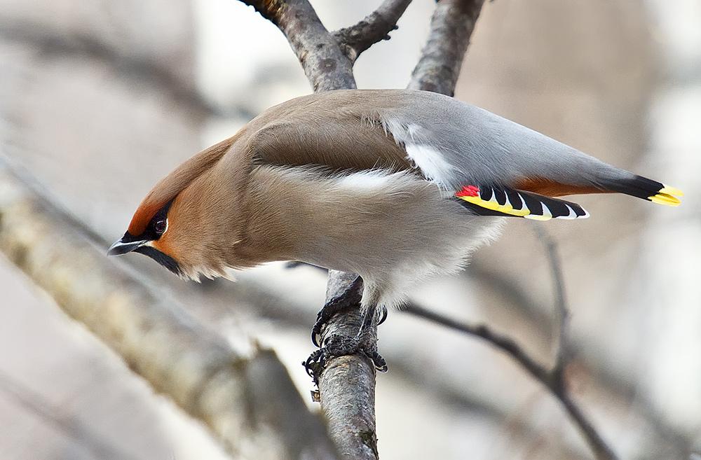 """фото """"Свиристели прилетели"""" метки: природа, дикие животные"""