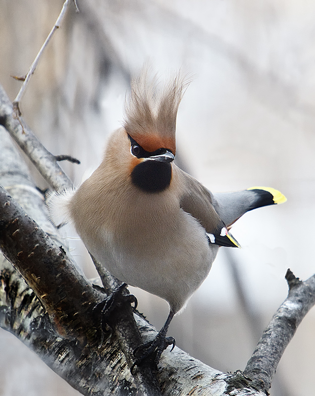 """фото """"Свиристель 2"""" метки: природа, дикие животные"""