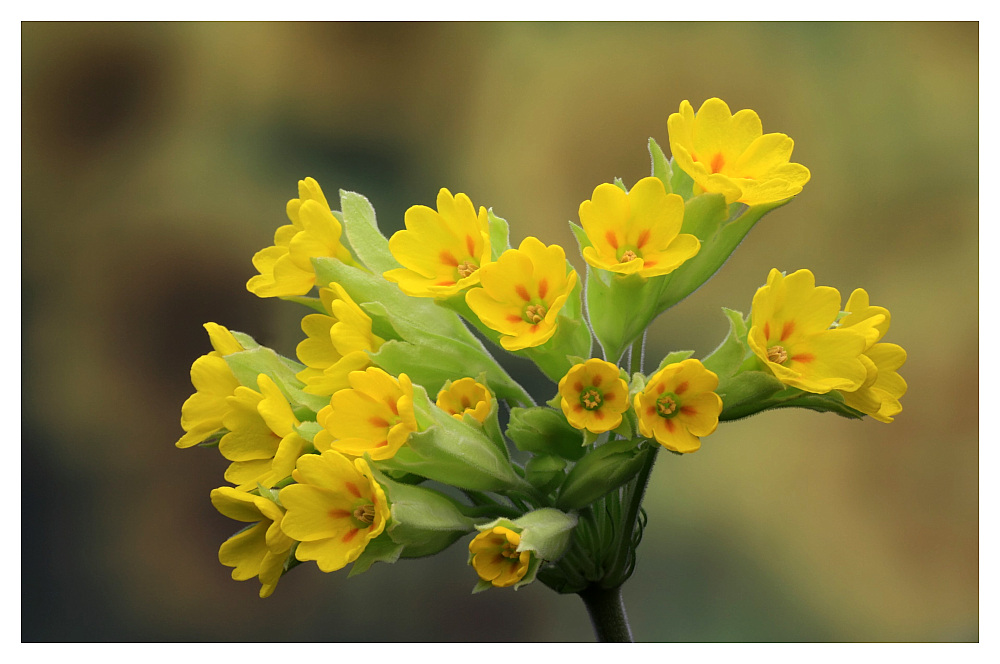 "photo ""primula"" tags: nature, flowers"