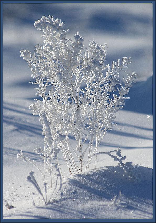 """фото """"Иней"""" метки: природа, цветы"""