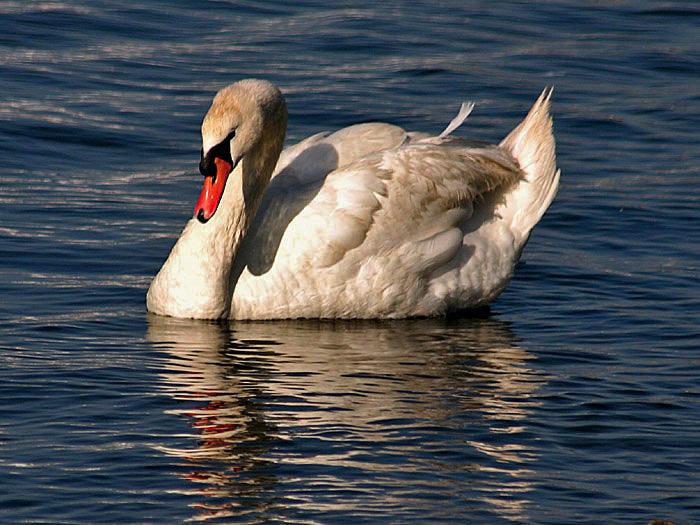"""фото """"Mute Swan"""" метки: путешествия, Северная Америка"""