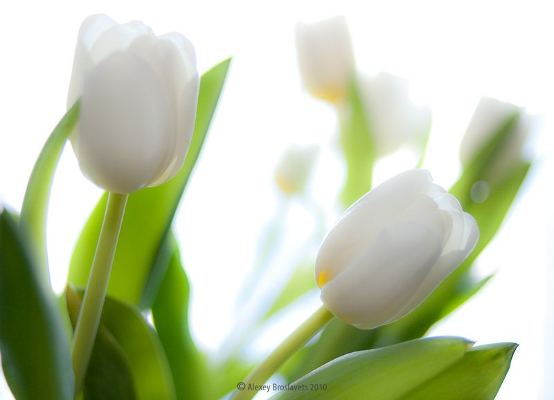 "photo ""White tulips"" tags: nature, still life, flowers"
