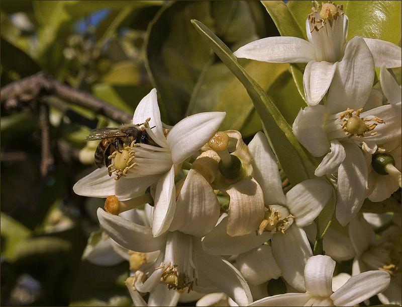 Флер де оранж цветы