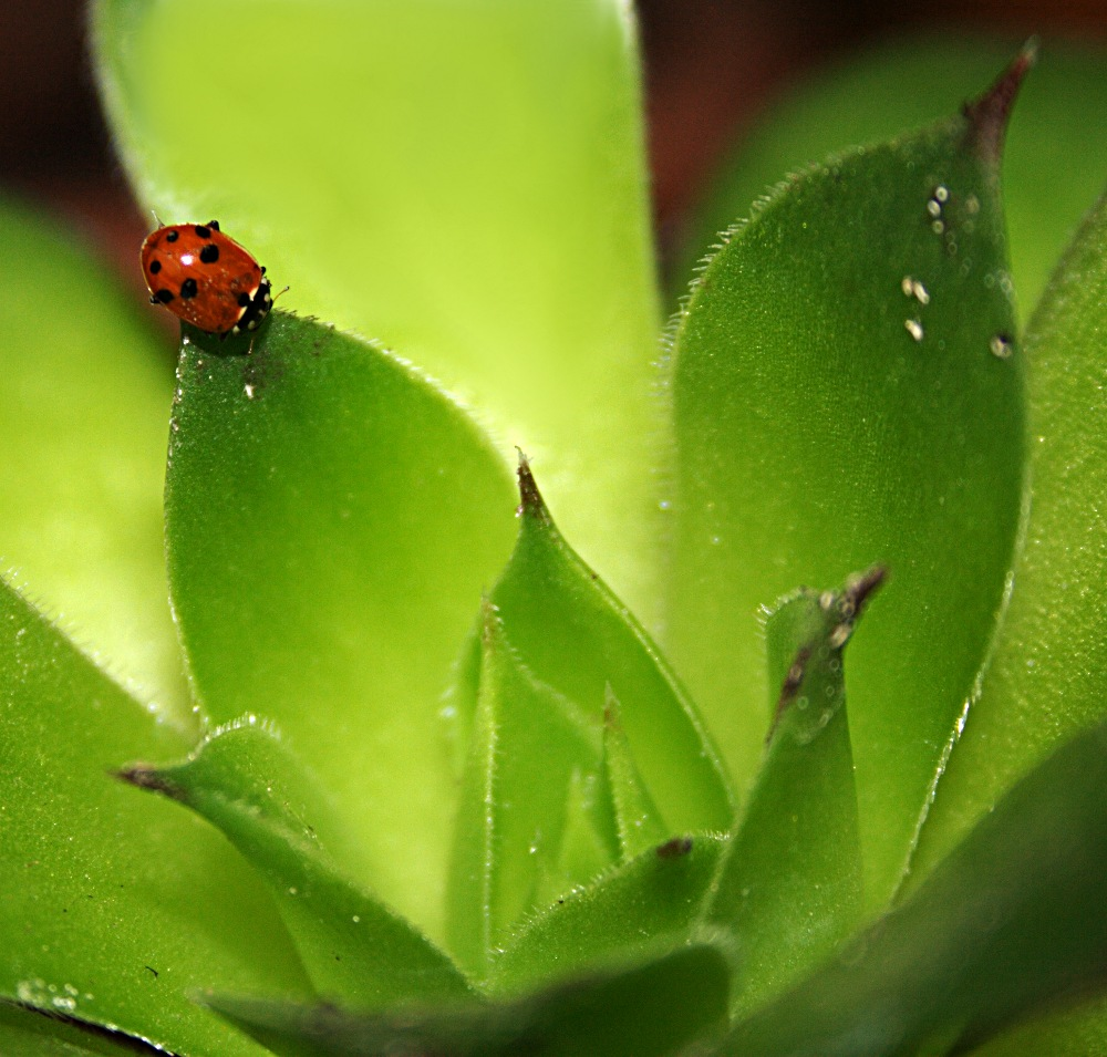 """photo """"ladybird"""" tags: nature, flowers, insect"""