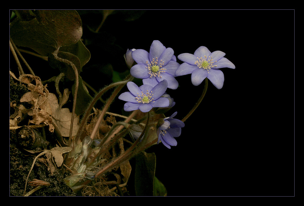"photo ""Anemone hepatica"" tags: nature, flowers"