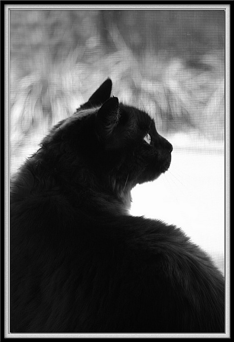 "photo ""At The Window"" tags: nature, black&white, pets/farm animals"