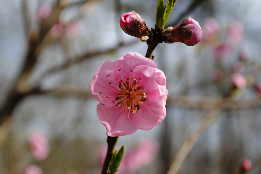 "photo ""Flowering peach."" tags: nature, flowers"