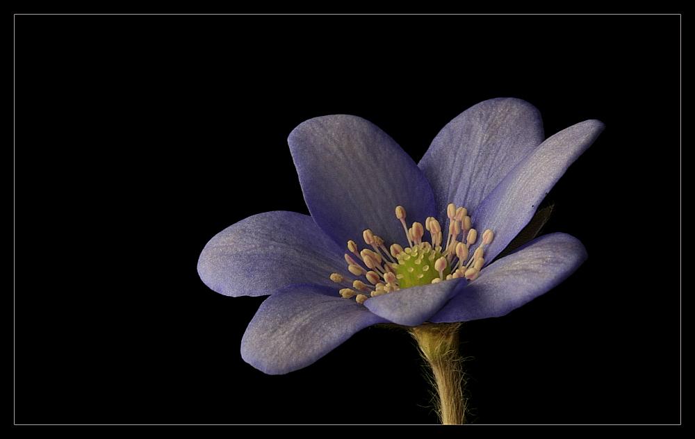 "photo ""Anemone hepatica"" tags: nature, flowers"