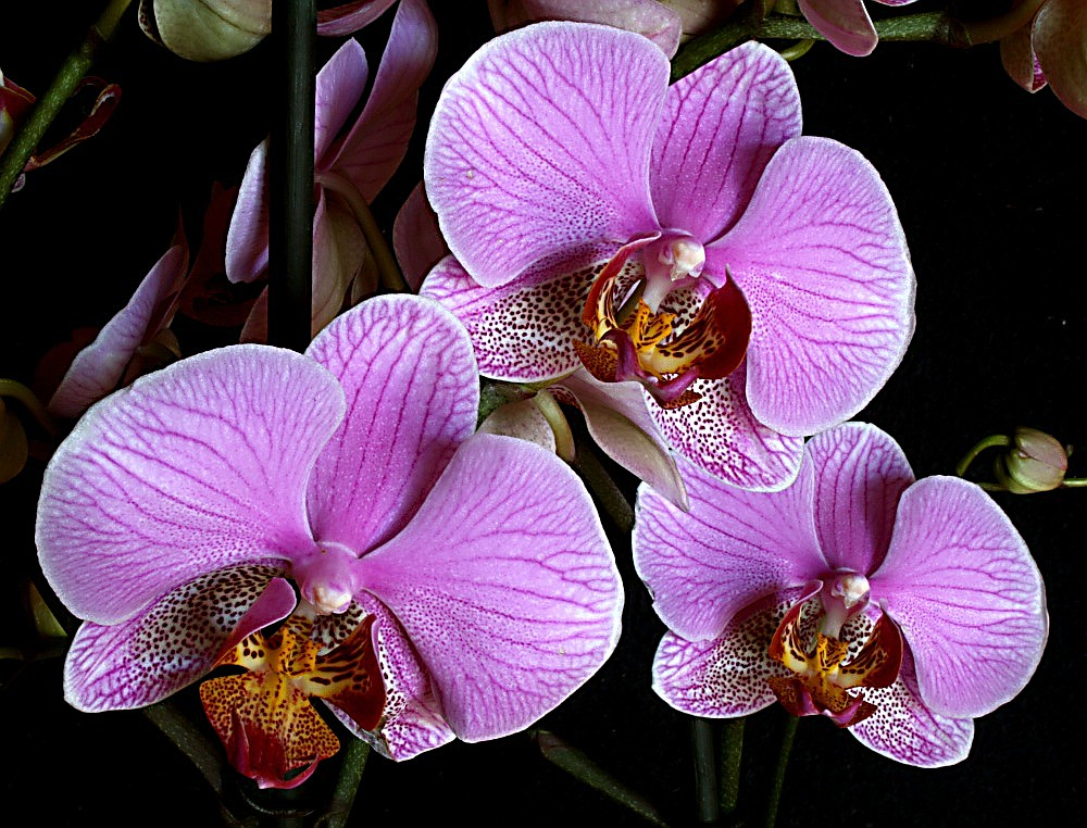 "photo ""Orchids #3"" tags: nature, genre, flowers"