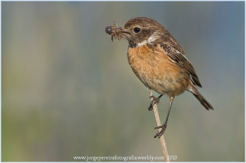 "photo ""Saxicola torquata female"" tags: nature, wild animals"