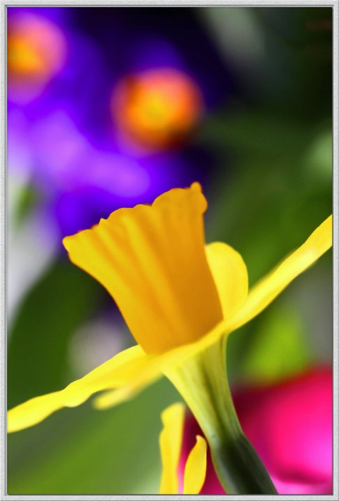 """photo """"Daffy Dill"""" tags: nature, macro and close-up, flowers"""