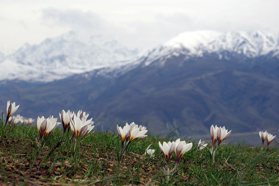 "photo ""Crocus Alatavicus"" tags: landscape, mountains, winter"