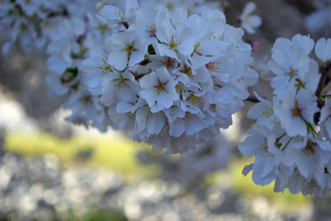 "photo ""Sakura..."" tags: nature, flowers"