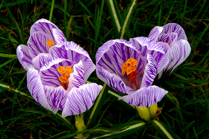 """photo """"Beauty of Spring / Весна красоты"""" tags: nature, macro and close-up, flowers"""