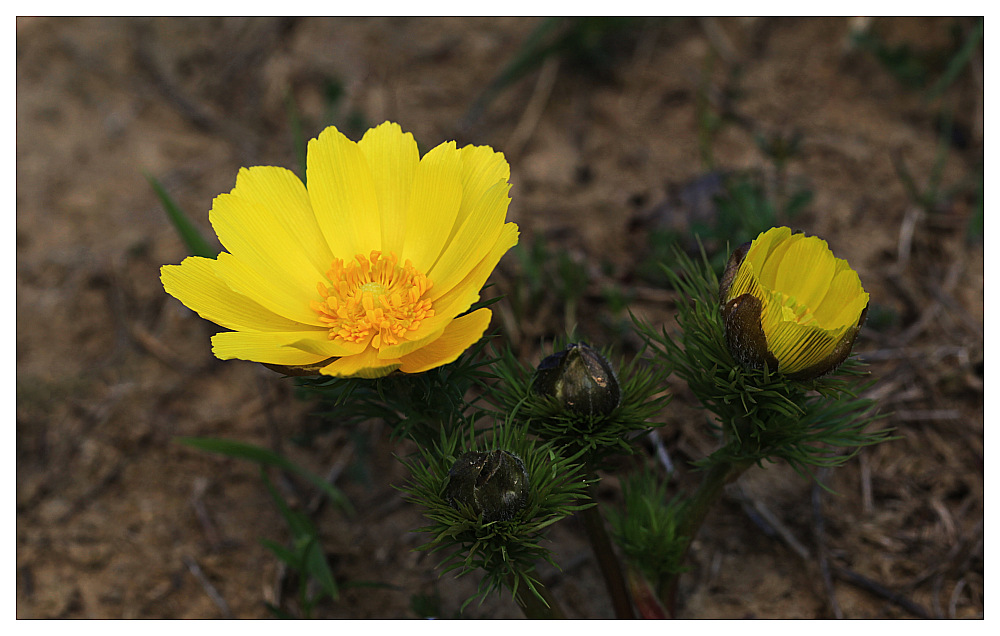 """photo """"adonis"""" tags: nature, flowers"""