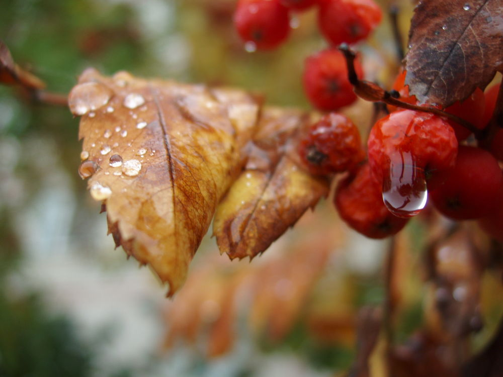 "photo ""осень,осенние слёзы"" tags: landscape, macro and close-up, autumn"