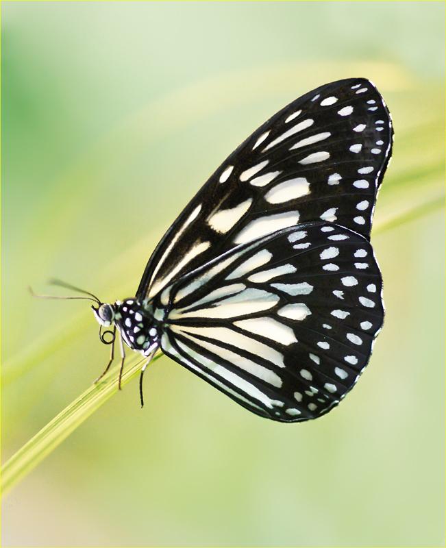 """photo """"Idea leuconoe."""" tags: nature, macro and close-up, insect"""