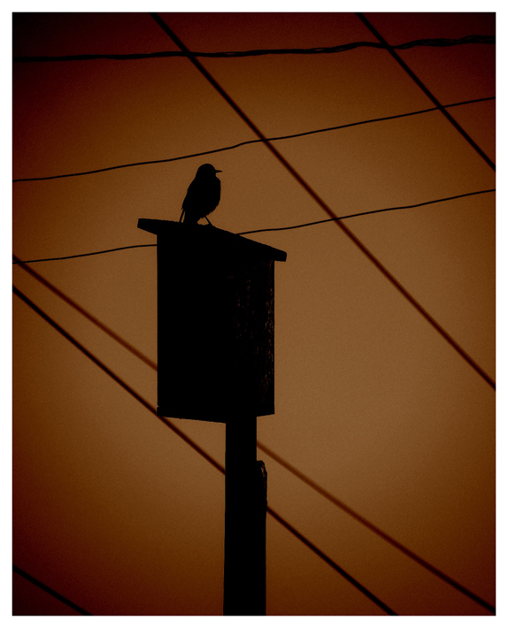 "photo ""Starling"" tags: nature, digital art, wild animals"